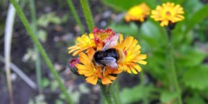 Red Tailed Bee