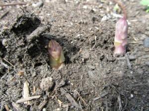 Asparagus Spears Emerging, Martineau Gardens
