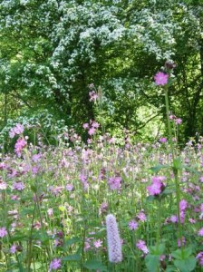Red Campion in the Summer Meadow, Martineau Gardens