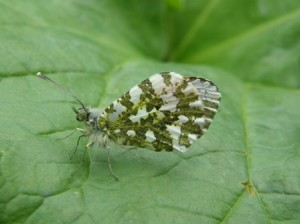 Orange Tip Butterfly, Martineau Gardens