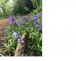 S Bluebells, april 2014, shd twi pic