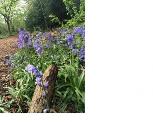 S Bluebells, april 2014, shd twi pic