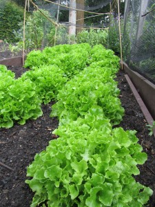 lettuces and recycled plastic boards