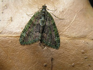 Red-Green Carpet Moth, identified on a Moth Trapping Survey