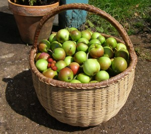 Apples, freshly picked