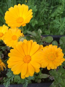 Calendula (pot marigold) growing in the Herb Beds at Martineau Gardens