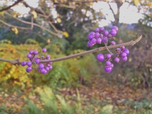 Callicarpa, the Winter Garden, Martineau Gardens
