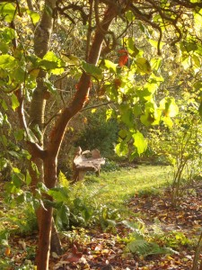 Sunlight shining on the Paperbark Maple