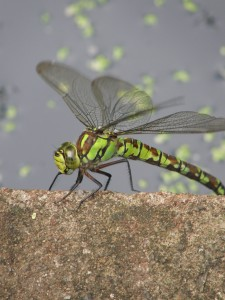 Southern Hawker Dragonfly    photocredit: B Perry