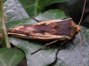 Red Sword-grass Moth ac Nov 2015