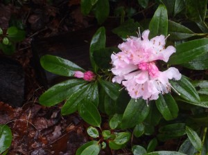 Rhododendron, by J Fletcher