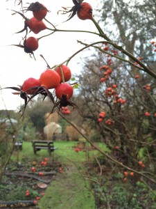 Rosehips on the Sundial Lawn, S Hill-Daniel